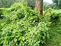 Weeds of parambikulam forest - 3.jpg