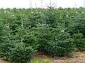 Weihnachtsbaumplantage.JPG