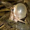 Western Chorus Frog (6922520670).jpg