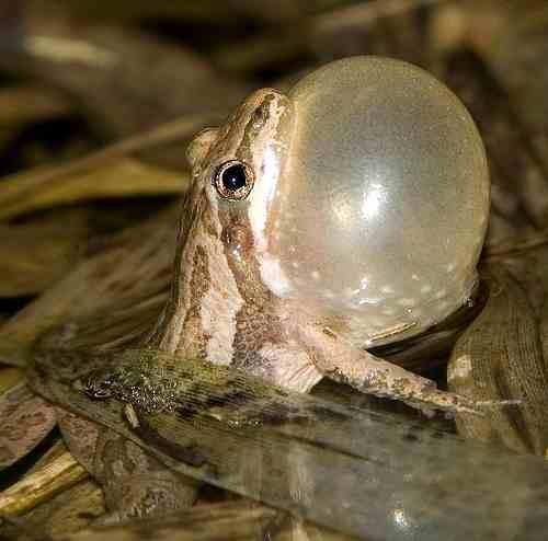Western Chorus Frog (6922520670)