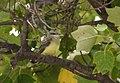 Western Kingbirds recently fledged (36987363693).jpg