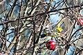 Western Tanager (Piranga ludoviciana) (23249385823).jpg