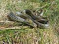 Western Whip Snake (Hierophis viridiflavus) male (Found by Jean NICOLAS) (14066234905).jpg