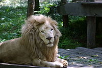 Lion au pelage clair