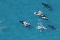 Whales in Morton Bay.jpg