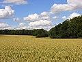 Wheat, Radnage - geograph.org.uk - 892186.jpg