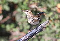 White-browed scrub robin, Cercotrichas leucophrys at Mapungubwe National Park, Limpopo, South Africa (17382319303).jpg