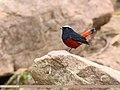 White-capped Redstart (Chaimarrornis leucocephalus) (40409552330).jpg