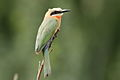 White-fronted Bee-eater, Merops bullockoides, at Rietvlei Nature Reserve, Gauteng, South Africa (15431210503).jpg