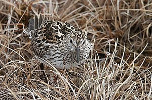 White-rumped sandpiper - Cryptic coloration aids in camouflage