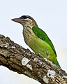 White Cheeked Barbet or Small Green Barbet (7101972721).jpg