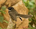White Throated (Spotted) Fantail (6965322672).jpg