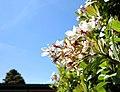 White blooms on pivet bush against blue sky in spring, Bay Area, California.JPG