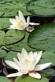White flowers in a green background (3089980242).jpg