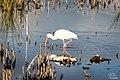 White ibis (32283546236).jpg
