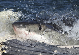 White shark (Carcharodon carcharias) scavenging on whale carcass - journal.pone.0060797.g004-B