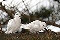 White tern (Gygis alba) (42856586635).jpg