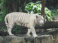 White tigers, Singapore Zoo 2.JPG