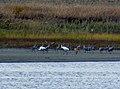 Whooping Cranes (10823398096).jpg