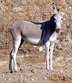 Wild Burros, San Timoteo Canyon 7-12 (7604954070).jpg