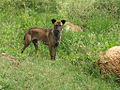Wild Dog unknown.jpg