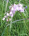 Wild Hyacinth - geograph.org.uk - 443233.jpg