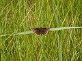 Wild Indigo Duskywing (Erynnis baptisiae) - Guelph, Ontario 2014-06-10 (01).jpg