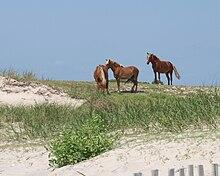 Sovaĝa hispana Colonial Mustangs.jpg