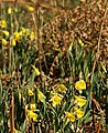 Wild daffodils in Dunsford Wood - geograph.org.uk - 1774013.jpg