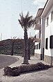 Wind felled palm. Tarifa phenomenal easterly gales. May 1975 (37708458436).jpg