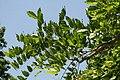 Wisteria sinensis Plena 1zz.jpg