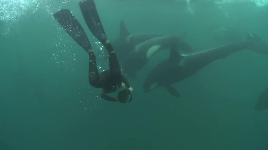 Killer whale attacks on humans