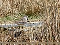 Wood Sandpiper (Tringa glareola) (35424668100).jpg