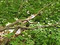 Woodland Understory (9563562965).jpg