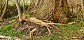 Wortels van een es (Fraxinus excelsior) om voet van een wilg (Salix). Locatie, Natuurterrein De Famberhorst 03.jpg