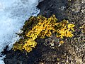 Xanthoria parietina on eternit.jpg