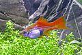 Xiphophorus hellerii lyretail female pregnant 02.jpg