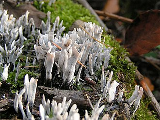 "The ""candlesnuff fungus"" in its asexual state, Xylaria hypoxylon Xylaria hypoxylon.jpg"