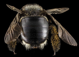 Xylocopa micans - Back of X. micans female with white tufts of hair visible.