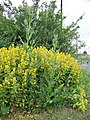 Yellow Loosestrife, Bishopstone - geograph.org.uk - 1372388.jpg