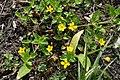 Yellow Pimpernel, Coed Arthur - Llancarfan - geograph.org.uk - 1297559.jpg