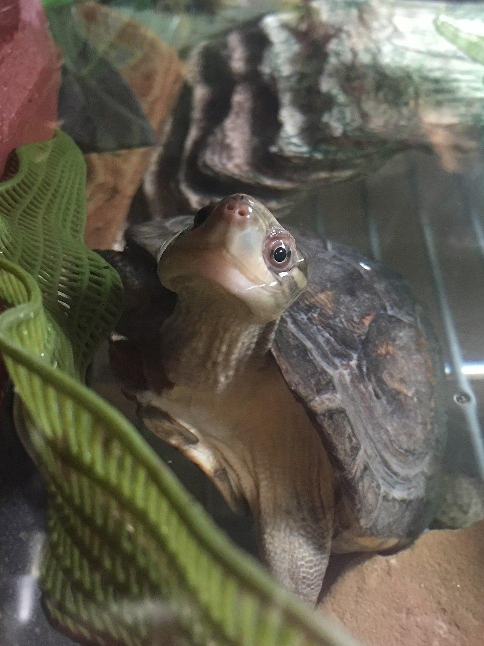 Yellow Pond Turtle Peeping