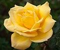 Yellow Rose (53485018).jpeg