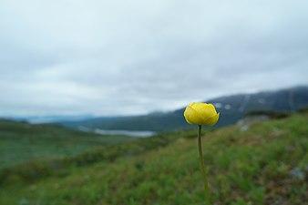 Yellow flower looking over Abisko national park.jpg