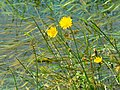 Yellow flowers in the water meadow, Cricklade - geograph.org.uk - 503895.jpg