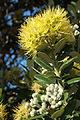 Yellow pohutukawa (Metrosideros excelsa 'Aurea') flowers - portrait.jpg