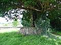 Yew tree seat - geograph.org.uk - 509984.jpg