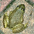 Young Bull Frog on the ground - 2.jpg