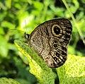 Ypthima baldus - Common Five-ring 02.JPG