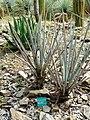 Yucca baccata - Jardin d'oiseaux tropicaux - DSC05006.JPG